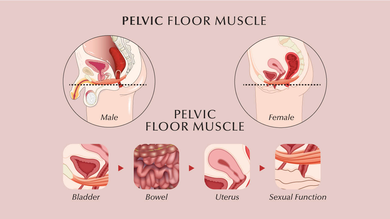 Pelvic floor muscles are the layer of muscles that support the pelvic organs and span the bottom of the pelvis.-1